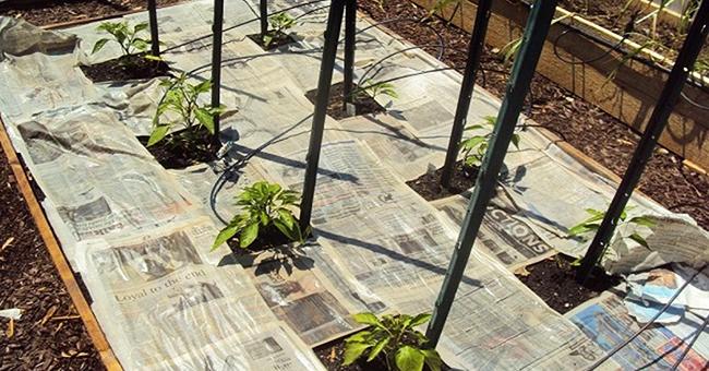 применение старых газет в огороде