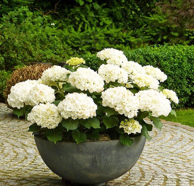 Гортензия что означает цветок