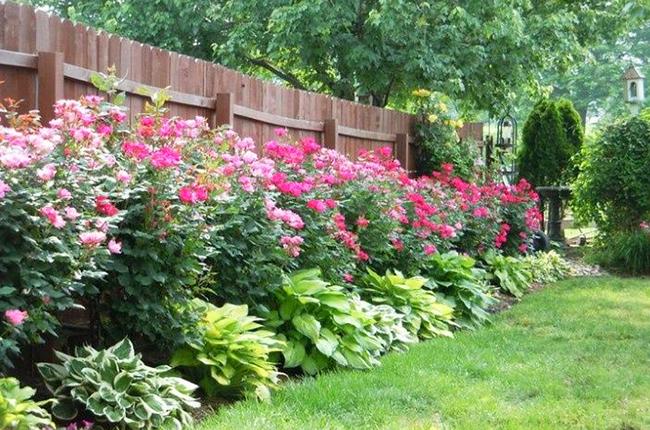 цветущие кустарники вдоль забора