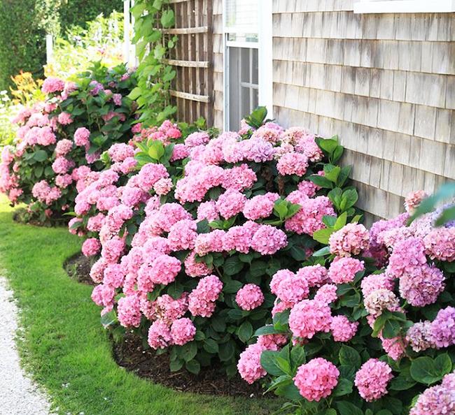 Как ухаживать за гортензиями в саду