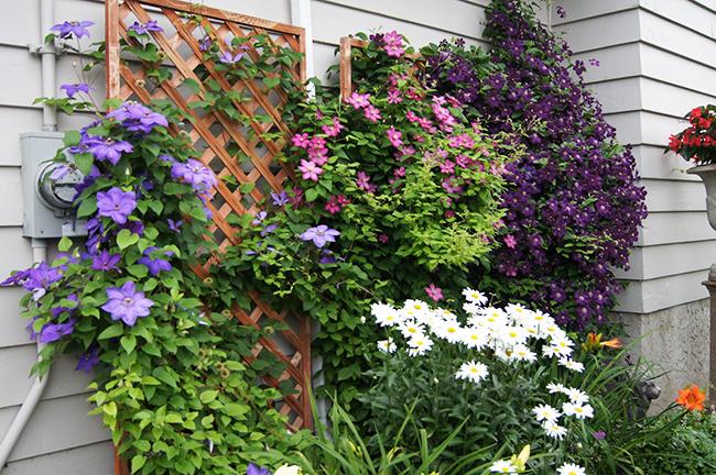 Посадка клематиса весной в грунт – полезные советы