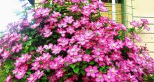 Посадка георгинов клубнями весной