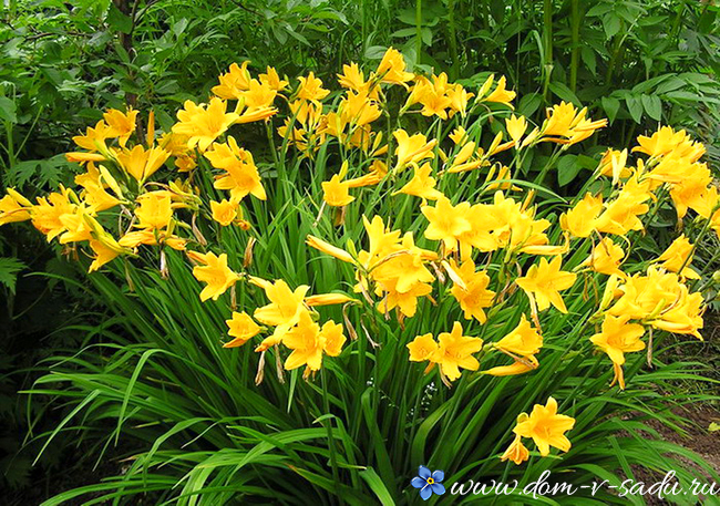 Когда лучше пересаживать многолетние цветы