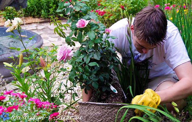 Удобрение для роз в августе