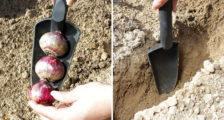 глубина посадки гиацинтов