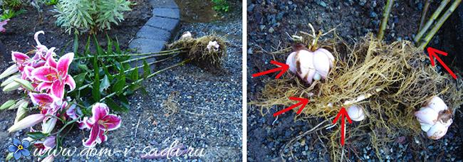 Пересадка лилий на другое место весной