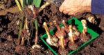 подготовка гладиолусов к хранению на зиму