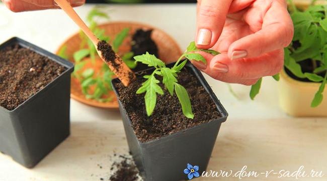 Когда сажать семена помидор на рассаду