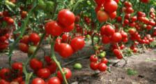 урожайные сорта помидор