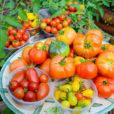 какие сорта помидоров самые вкусные и урожайные