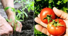 секреты хороших урожаев помидор
