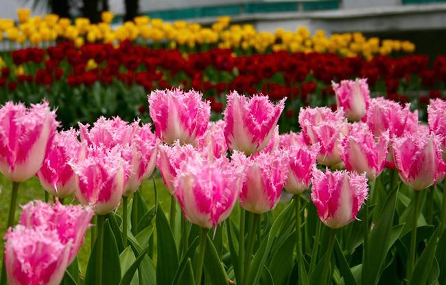 махровые тюльпаны на клумбе
