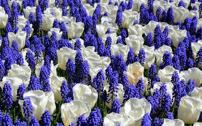 тюльпаны и мускари