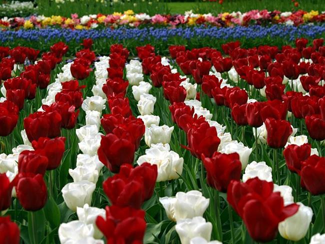как посадить тюльпаны