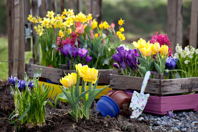как сажать тюльпаны дома в горшок