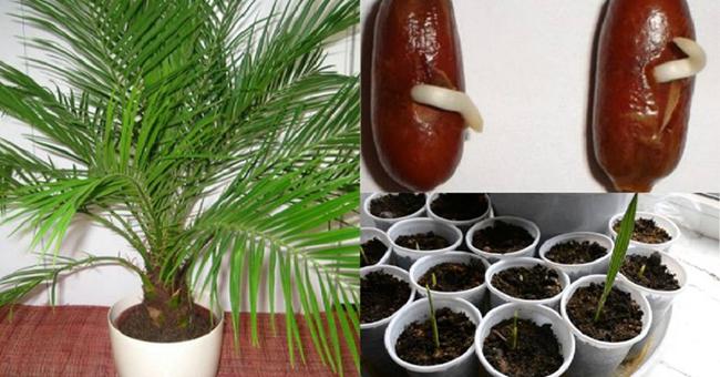Выращиваем пальму с финиковой косточки в домашних  10
