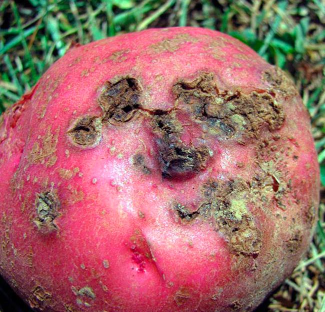 Фитофтора на картофеле как бороться народные средства