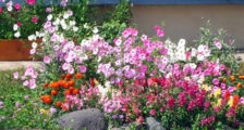 неприхотливые цветы для клумбы