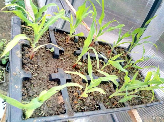 Как посадить рассаду кукурузы 19