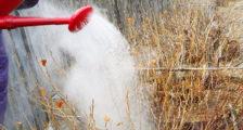 когда поливать кипятком смородину весной