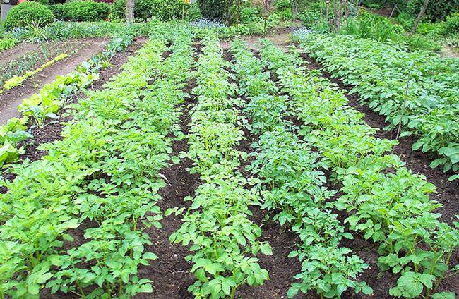 картофель выращивание в огороде