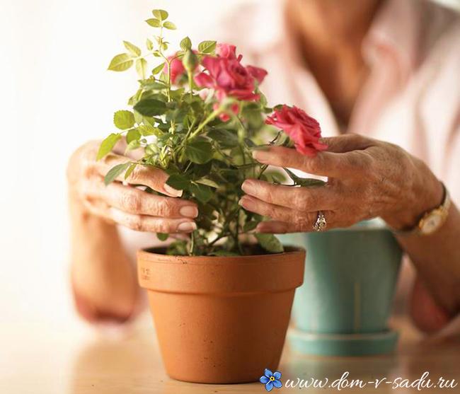 как пересаживать комнатные розы