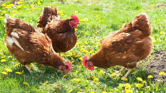 куриный помет в гранулах как использовать