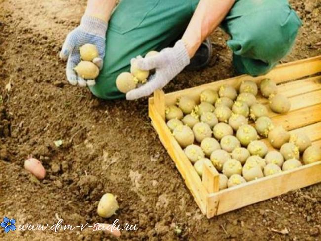 сроки посадки картошки весной
