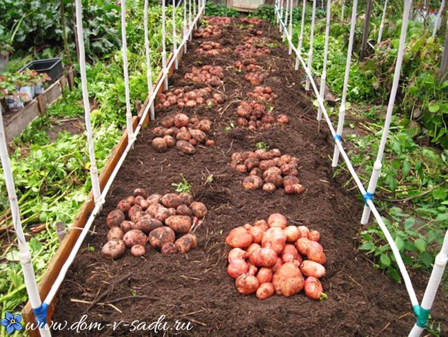посадка картофеля в Подмосковье