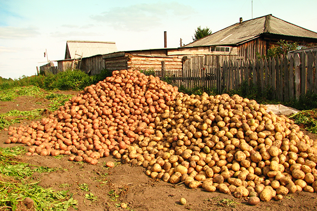 хороший урожай картошки