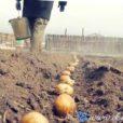 время посадки картофеля