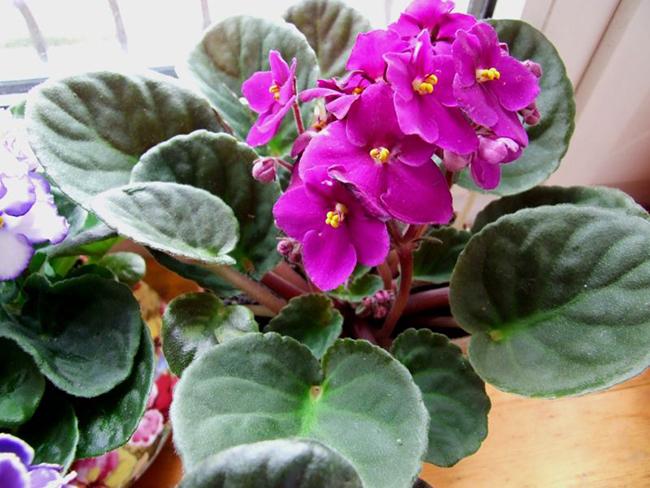 домашние цветущие цветы