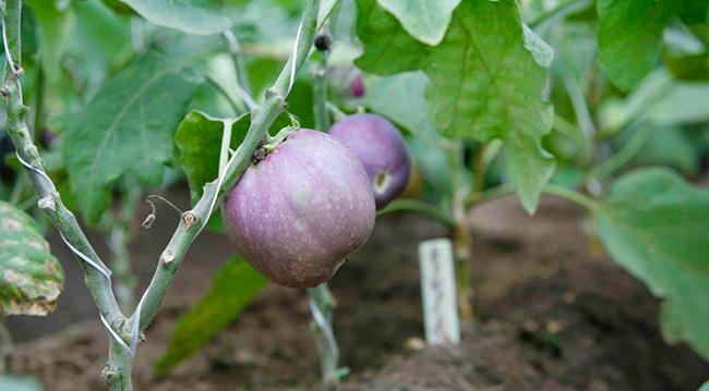 Как формировать баклажаны выращивание в теплице и в открытом грунте