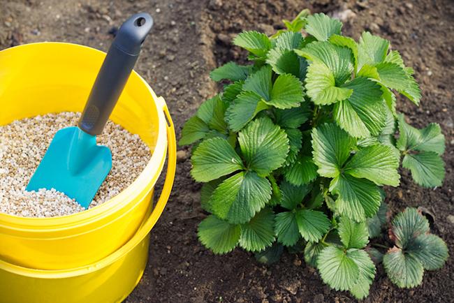 чем обработать клубнику после срезки листьев