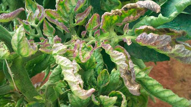 фитофтора на листьях