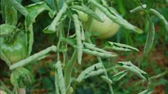почему у томатов скручиваются листья в трубочку
