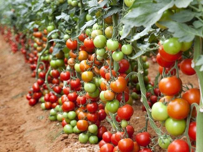подкормка томатов крапивой