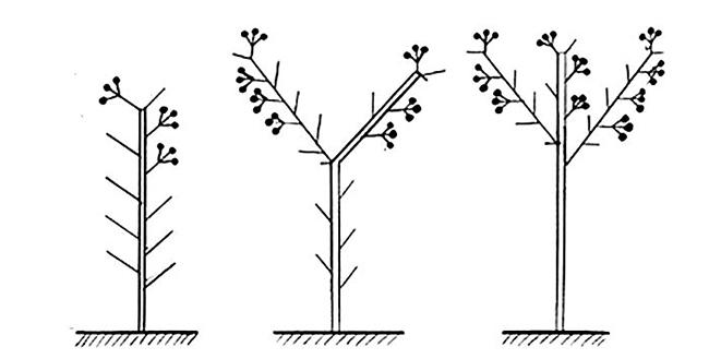формирование баклажанов в теплице схема