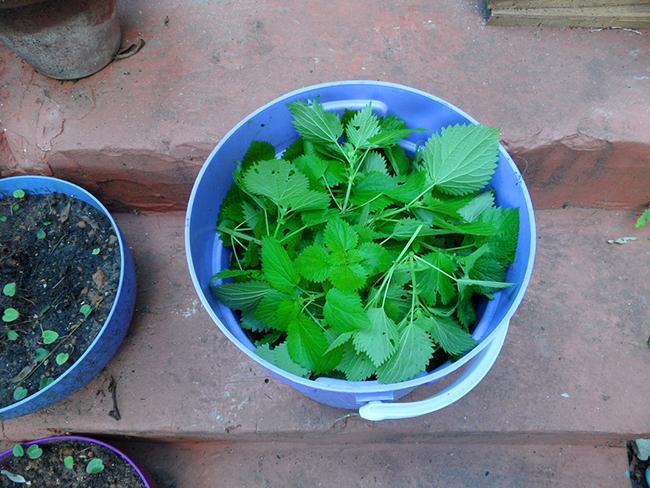 настой крапивы для подкормки растений