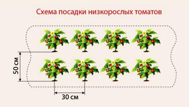Схема посадки томатов в теплице — на каком расстоянии сажать помидоры в теплице для богатого урожая.