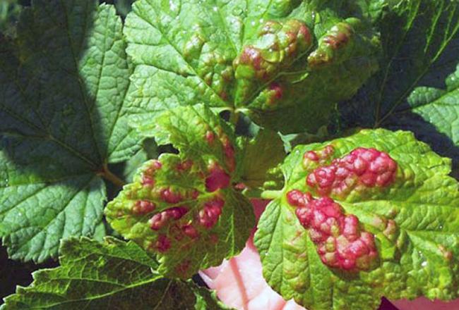Красные листья на смородине – как бороться?