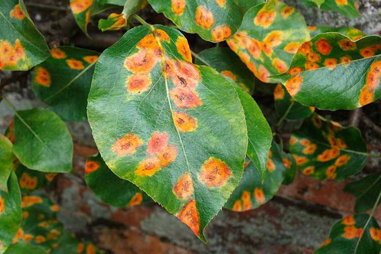 Ржавые пятна на листьях яблони