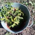 когда пересаживать пионы весной или осенью