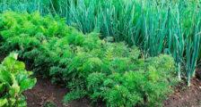 как посадить зелень под зиму