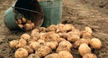 картошка в огороде