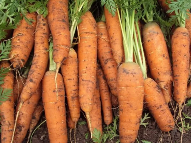 какой сорт моркови лучше сажать