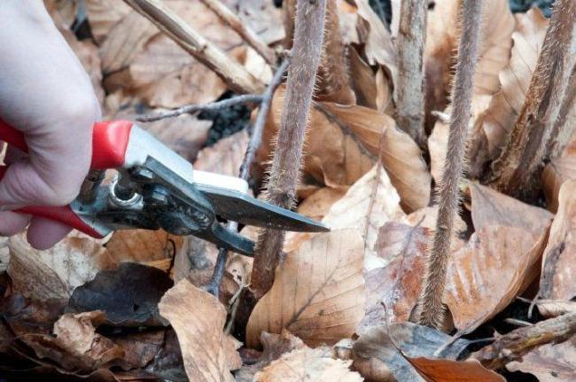обрезать ли ремонтантную малину на зиму