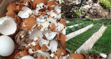 скорлупа яиц для огорода