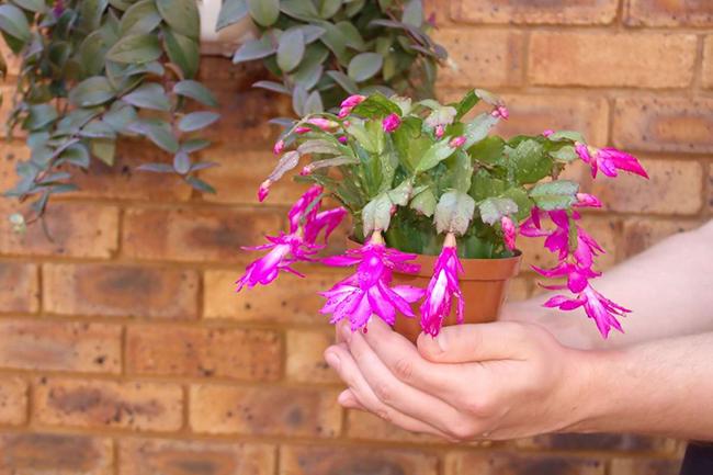 декабрист цветет