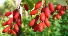 плодовые кустарники для сада